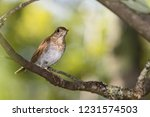 a veery perching in a tree | Shutterstock . vector #1231574503