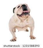 english bulldog in front of... | Shutterstock . vector #1231588393