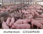 Curious pigs in pig breeding...