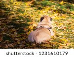 pug dog on the leaves in autumn | Shutterstock . vector #1231610179