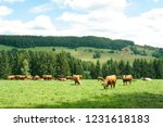 cows on the hills of schwarzwald | Shutterstock . vector #1231618183