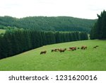 herd of cattle in schwarzwald | Shutterstock . vector #1231620016
