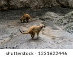 the meerkat or suricate ... | Shutterstock . vector #1231622446