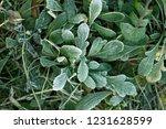 frozen plants and grass in... | Shutterstock . vector #1231628599