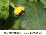 solitary bee resting on a...   Shutterstock . vector #1231693690