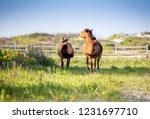 two wild ponies  equus caballus ... | Shutterstock . vector #1231697710