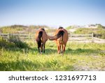 two wild ponies  equus caballus ... | Shutterstock . vector #1231697713
