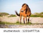 a wild pony  equus caballus  at ... | Shutterstock . vector #1231697716