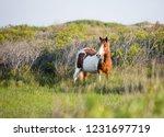 a wild pony  equus caballus  at ... | Shutterstock . vector #1231697719