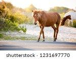 a wild pony  equus caballus ... | Shutterstock . vector #1231697770