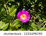 beautiful pink and yellow...   Shutterstock . vector #1231698190