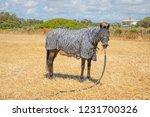black horse looking with zebra...   Shutterstock . vector #1231700326