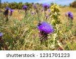 bumblebee eating in purple...   Shutterstock . vector #1231701223