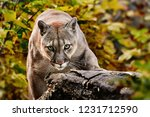 Portrait Of Beautiful Puma In...