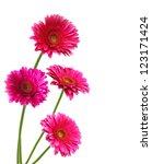 Four Pink Gerber Flowers ...