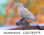 Beautiful Mourning Dove In Mid...