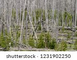 post wildfire stand of young... | Shutterstock . vector #1231902250