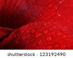 Red Flower With Drops   Macro