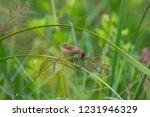 scaly breasted munia  lonchura... | Shutterstock . vector #1231946329