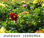 colorful red pink orange and... | Shutterstock . vector #1232014816