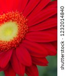 colorful red gerbera daisy in... | Shutterstock . vector #1232014840