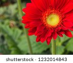 colorful red gerbera daisy in... | Shutterstock . vector #1232014843