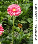 colorful pink gerbera daisy in... | Shutterstock . vector #1232014846