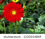 colorful red gerbera daisy in... | Shutterstock . vector #1232014849