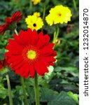 colorful red gerbera daisy in... | Shutterstock . vector #1232014870