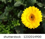 colorful yellow gerbera daisy... | Shutterstock . vector #1232014900