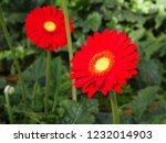 colorful red gerbera daisy in... | Shutterstock . vector #1232014903