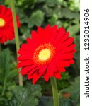 colorful red gerbera daisy in... | Shutterstock . vector #1232014906
