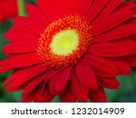 colorful red gerbera daisy in... | Shutterstock . vector #1232014909