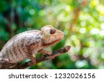close up of a wild panther... | Shutterstock . vector #1232026156