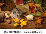 little pet hamster   phodopus... | Shutterstock . vector #1232106739
