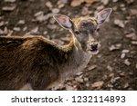 portrait of brown reddish... | Shutterstock . vector #1232114893