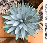 agave plant in a pot  top view  | Shutterstock . vector #1232194849