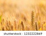 wheat in the farm   Shutterstock . vector #1232222869