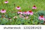 echinacea purpurea is perennial ... | Shutterstock . vector #1232281423