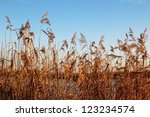 Reed Near The Lake