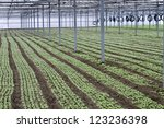 radishes grown in greenhouses...   Shutterstock . vector #123236398