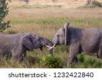elephants fighting on the... | Shutterstock . vector #1232422840