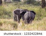 elephants fighting on the... | Shutterstock . vector #1232422846