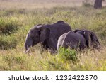 elephants fighting on the... | Shutterstock . vector #1232422870