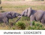 elephants fighting on the... | Shutterstock . vector #1232422873