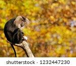 beard ape in german zoo | Shutterstock . vector #1232447230