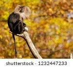 beard ape in german zoo | Shutterstock . vector #1232447233