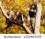 beard ape in german zoo | Shutterstock . vector #1232447239