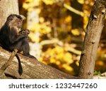 beard ape in german zoo | Shutterstock . vector #1232447260