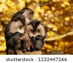 beard ape in german zoo | Shutterstock . vector #1232447266